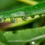 Cultivo y mantenimiento del aloe vera